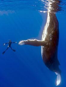"Quand la baleine dit ""merci"""